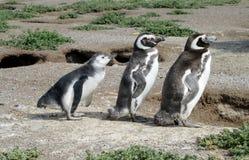 Семья пингвина Стоковые Фото