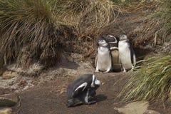 Семья пингвина Magellanic - Фолклендские острова Стоковые Фотографии RF