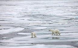Семья полярного медведя Стоковое Изображение