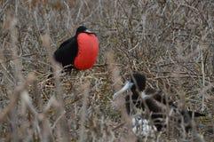 Семья птицы фрегата от Галапагос Стоковая Фотография