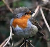 Семья птицы flycatchers_8 Робина Стоковая Фотография