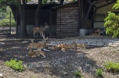 Семья самца оленя оленей или Capreolus также мужских с женскими косул-оленями, задний или ланью и пыжиком ослабляет внешнее в пол Стоковое Изображение RF