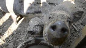Семья свиней смотря и обнюхивая на камере на сельском дворе фермы, молодом въетнамском piggy питании на традиционном farmyard сток-видео