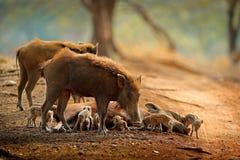 Семья свиньи, индийский хряк, национальный парк Ranthambore, Индия, Азия Большая семья на дороге гравия в поведении Animnal леса, Стоковые Фото
