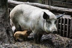 Семья свиньи Стоковое Изображение