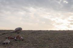 Семья свиньи Mangulitsa pasturing на поле Стоковые Изображения