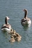 Семья серой гусыни плавая над морем Стоковое Фото