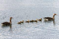 Семья серой гусыни плавая над морем Стоковое Изображение