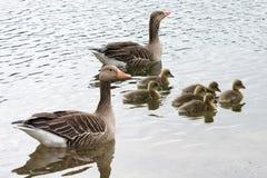 Семья серой гусыни плавая над морем Стоковое Изображение RF