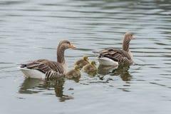 Семья серой гусыни с цыпленком 3 в воде весной Стоковое фото RF