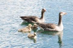 Семья серой гусыни с цыпленком 3 Стоковые Изображения RF
