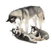 Семья сибирской лайки Стоковые Фото
