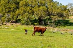 Семья скотин Техаса Стоковые Изображения RF