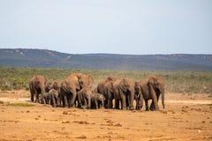 Семья слона на движении стоковая фотография rf