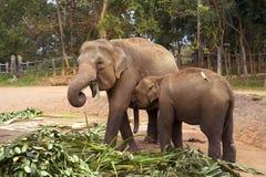 семья слона Стоковые Изображения RF