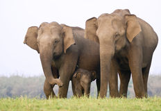 семья слона Стоковая Фотография RF