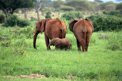 семья слона Стоковые Фото