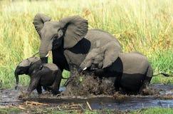 семья слона Стоковое Фото