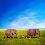 Семья слонов на саванне. Сафари в Amboseli, Кении, Африке Стоковая Фотография