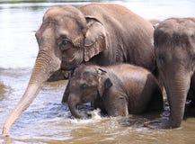 семья слонов Стоковое фото RF