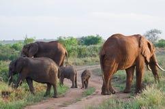 семья слонов Стоковое Изображение