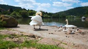 Семья с молодыми лебедями, Eberbach лебедя акции видеоматериалы