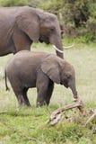 Семья слона в Кении Стоковые Фотографии RF