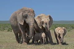 Семья слона в парке Addo Стоковое фото RF
