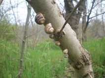 Семья улиток на дереве стоковые фотографии rf