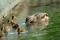 Семья утки кряквы на воде, женской с утятами (platyrhynchos Anas) Стоковое Фото