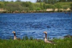 Семья утки ослабляя рекой Стоковое фото RF