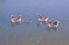 семья утки Стоковая Фотография RF