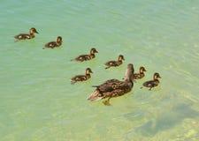 Семья утки Стоковые Фото