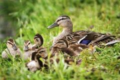 Семья утки Стоковое Изображение RF
