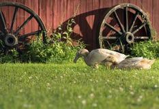 Семья утки Стоковые Изображения RF