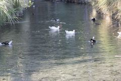 Семья уток идя на озеро Стоковое фото RF