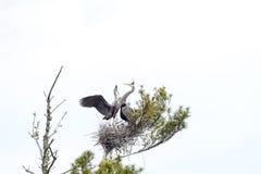 Семья цапли большой сини на гнезде Стоковые Фото