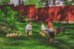 Семья цыпленка модельная, украшенная в саде Стоковые Изображения RF