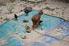 Семья цыпленка на ферме Стоковая Фотография RF