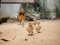 Семья цыпленка, цыпленоки, курица, сторона страны, Таиланд Стоковое Изображение