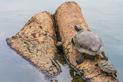 Семья черепахи на тимберсе в озере стоковая фотография rf