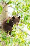 Семья черного медведя в дереве Стоковое фото RF