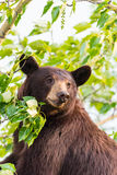 Семья черного медведя в дереве Стоковые Фотографии RF
