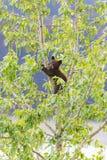 Семья черного медведя в дереве Стоковое Изображение
