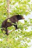 Семья черного медведя в дереве Стоковые Изображения