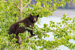 Семья черного медведя в дереве Стоковая Фотография RF