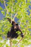 Семья черного медведя в дереве Стоковая Фотография