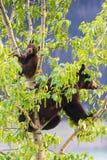 Семья черного медведя в дереве Стоковое Изображение RF
