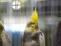 Семья Cacatuidae hollandicus Nymphicus стоя в птице cockatiel клетки желтой стоковая фотография