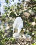семья egret большая Стоковые Изображения RF
